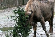 Zvířata z pražské zoo si pochutnávají na vánočním stromu