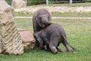 Slůňata Max a Rudi ze Zoo Praha jsou nerozlučitelná dvojice.