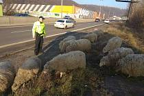 Stádo ovcí ohrozilo projíždějící řidiče v pražské Strakonické ulici.