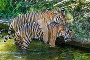 Ani vysoké letní teploty nebrání dvojčatům tygra malajského Bulanovi s Wanitou v jejich venkovních hrátkách.