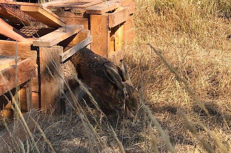 Myslivci vypustili deset zajíců do Divoké Šárky