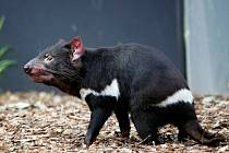 Ďábel medvědovitý (Tasmánský čert)