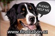 Bernský salašnický pes Calvin se ztratil cizincům v centru Prahy