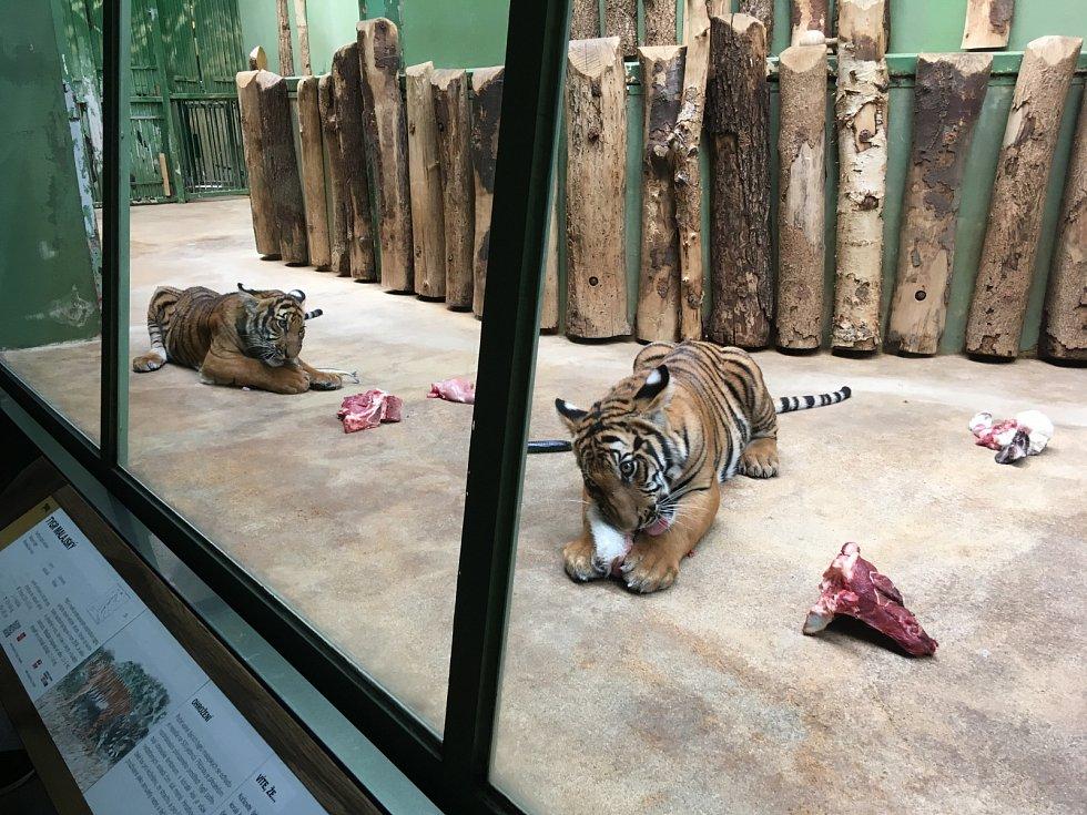 V zoologické zahradě v Praze můžete vidět i malá tygřata