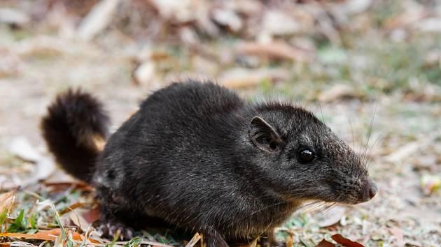 """Tajemný, jedinečný a ohrožený laoš. Jeho české jméno je zkratkou slov """"laoská myš""""."""