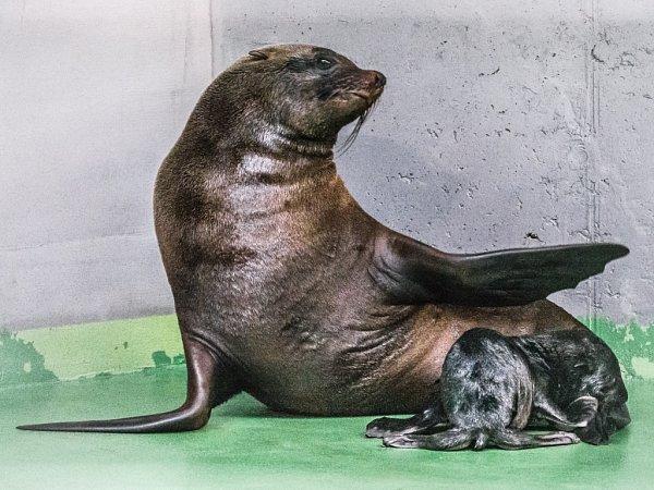 Mláďata lachtanů jihoafrických mají smáčivou srst a po porodu nesmí do vody.