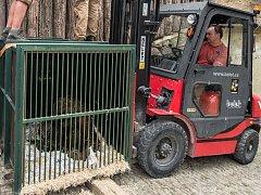 Vykládání orangutana Pagyho v pražské zoologické zahradě.