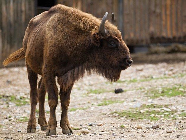 Chov zubrů v pražské zoo má dlouhou tradici. Současné stádo posílil nový mladý chovný býk.