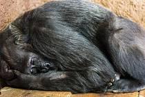 Testy prokázaly nemoc covid-19 u dalších dvou goril v pražské zoologické zahradě. Vzorek trusu pozitivní na koronavirus mají nově samice Bikira a Kamba (na snímku).
