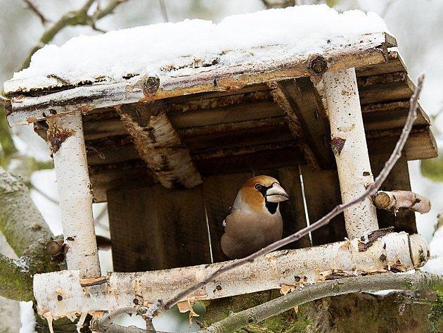 Dlask tlustozobý je středně velký pták z čeledi pěnkavovitých.