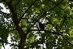 Vypuštění zachráněného výra velkého zpět do přírody v Dolních Břežanech.