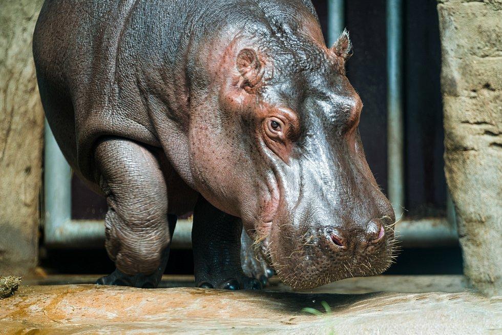 Pětiletý hroší samec Fanda najde nový domov ve francouzské zoologické zahradě La Palmyre.