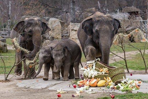 Narozeninová oslava slonice Lakuny.