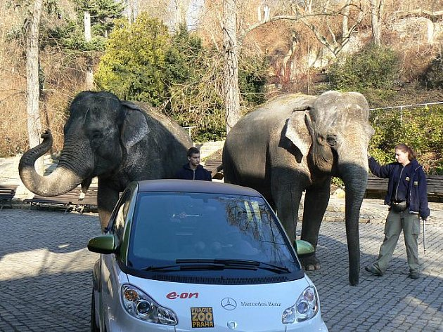 Nový přírůstek do zoo přišly uvítat její dvě největší dámy – slonice Gulab a Shanti. Gulab, která letos v červnu oslaví již dvaapadesáté narozeniny, je služebně nejstarší obyvatelkou zoo – v Praze strávila již 45 let.