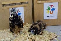 Zaměstnanci Zoo Praha nejprve dopravili dvě samičky supa mrchožravého do chovné a záchranné stanice ve Staré Zagoře. Vlevo mládě, které se vylíhlo přímo v Zoo Praha, vpravo samička vylíhnutá v Zoo Zlín.