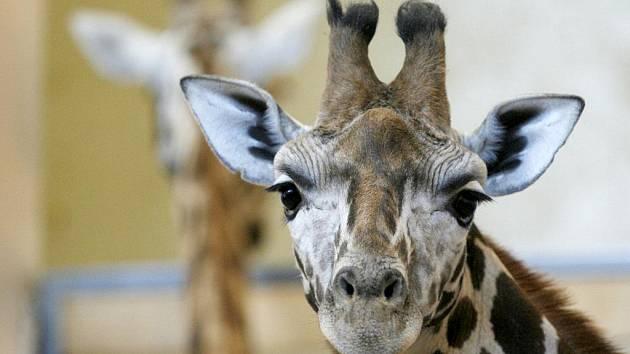 Žirafy v pražské zoo.