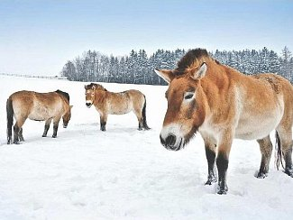 KLISNY koně Převalského na České Sibiři, aklimatizační a chovná stanice v Dolním Dobřejově 3. prosince 2010.