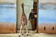 Žirafí sameček narozený 13. února v Zoo Praha se připojil ke stádu v Africkém domě.