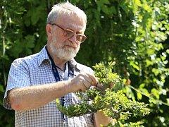 Petr Herynek zaštipuje na výstavě bonsají v botanické zahradě v Troji jeden ze svých výpěstků.