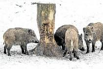 Divoká prasata se kvůli menší potravní nabídce více stahují do blízkosti lidských obydlí. Riziko konfliktní situace je tak v této době vyšší.