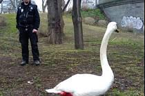 Zachráněná labuť, která se pohybovala v kolejišti na Hlávkově mostě.