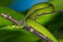 Mamba zelená.