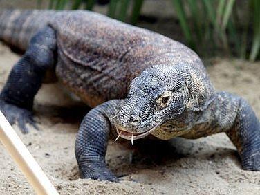 Varan komodský. Tři vzácná mláďata tohoto druhu se narodila v pražské zoo. Na snímku je jejich otec.