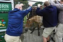 Čtyři klisny koně Převalského ze Zoo Praha budou v pondělí odpoledne transportovány z kbelského letiště do Mongolska