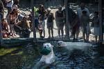 Lední medvědi měli o hračku zájem.