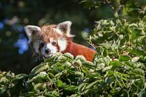 Návštěvníci zoologické zahrady v Praze mohou v expozici nedaleko hlavního vchodu spatřit novou samici pandy červené jménem Regica.