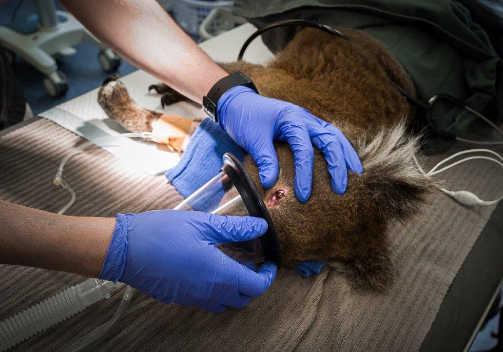 Tomuto koalovi, který byl ošetřován v Melbourne Zoo, poranil požár vedle tlapek také oči.