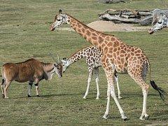 Žirafa Anna zvědavě prohlíží antilopu losí.