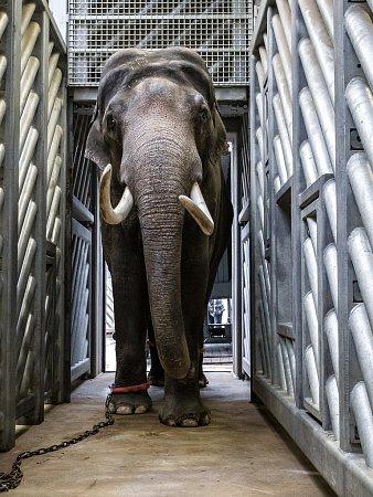Mekong míří zPrahy do chovné sloní skupiny vZoo Amsterdamu.