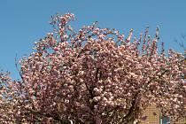 Růžové a bílé Letňany.