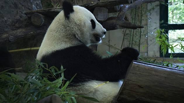 Panda velká při požírání bambusových výhonků.