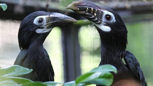 U mláďat zoborožců rýhozobých (vlevo) se rozpozná pohlaví ihned po vylétnutí z dutiny, protože jsou vybarveni stejně jako rodiče, jen v matnějších tónech. Typické rýhování zobáku získávají postupně během let.