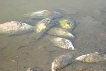 Uhynulé ryby. Ilustrační foto.