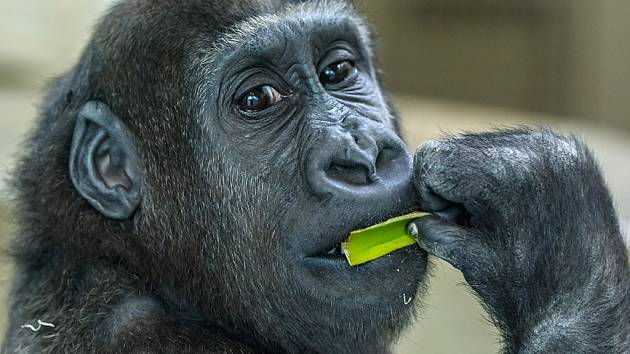 Podle německých chovatelů je Tano mimořádně inteligentní gorilí sameček.
