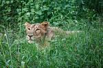 Pražská Zoo získala trojici indických lvů. Na snímku Ginny.