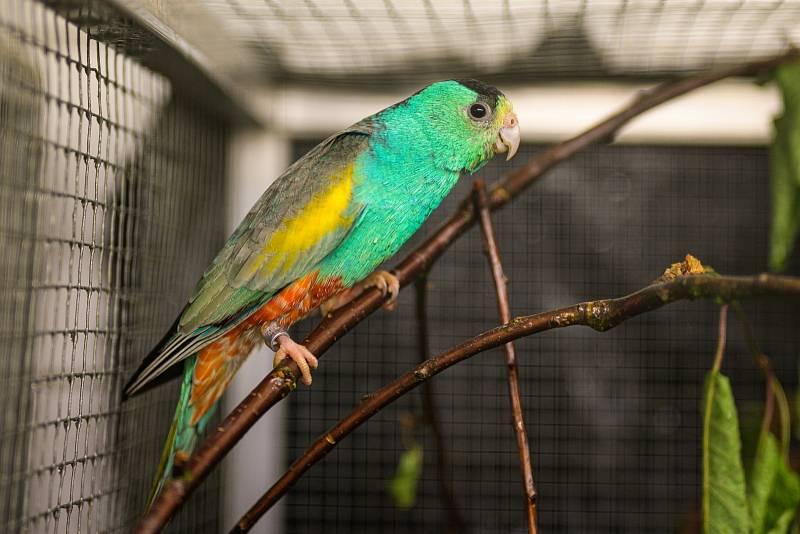 Jedním z pozoruhodných druhů nové expozice je papoušek žlutoramenný. Kromě výrazného pohlavního dimorfismu se tento druh vyznačuje ojedinělou hnízdní biologii. Využívá termitiště, v kterých si hloubí chodby zakončené hnízdní norou.