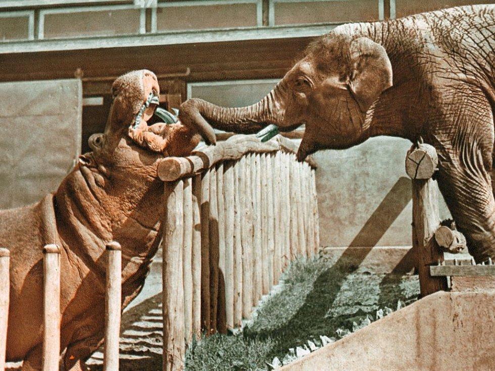 """Baby natahuje chobot k Petrovi. Pověsti o """"přátelství"""" slona a hrocha mohou být nadsazené, ale mají pravdivé jádro."""