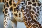 Matkou žirafího samečka narozeného 13. února je Eliška, která se narodila v Praze, otce Johana má mladší mládě společné s Nelou narozenou 25. ledna.