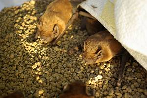 Kolonii dvou stovek netopýrů vypustí ve čtvrtek ve Stromovce