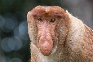 Záchrana opic kahau na Borneu
