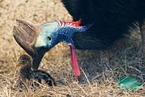 V pražské zoologické zahradě se 4. června vylíhlo mládě kasuára přilbového. Jeho matka Kačenka (není na snímku) snesla tři vejce, ale jen jedno bylo oplozené. Další péče je nyní na samci Kašíkovi. Kasuáři jsou totiž nekrmní ptáci, proto si mládě musí samo
