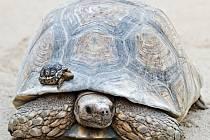 V neděli 19. dubna 2015 ve 13 hodin pokřtí Zoo Praha mláďata želv pardálích.