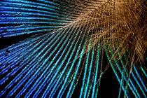 Mikroskopický snímek peří holuba chocholatého.