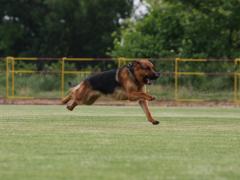 Služební pes Orbi