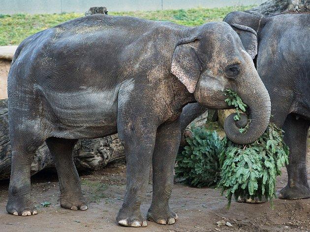 Sloni považují vánoční stromky za dobrotu.