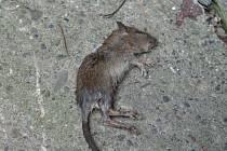 Mrtvý potkan.